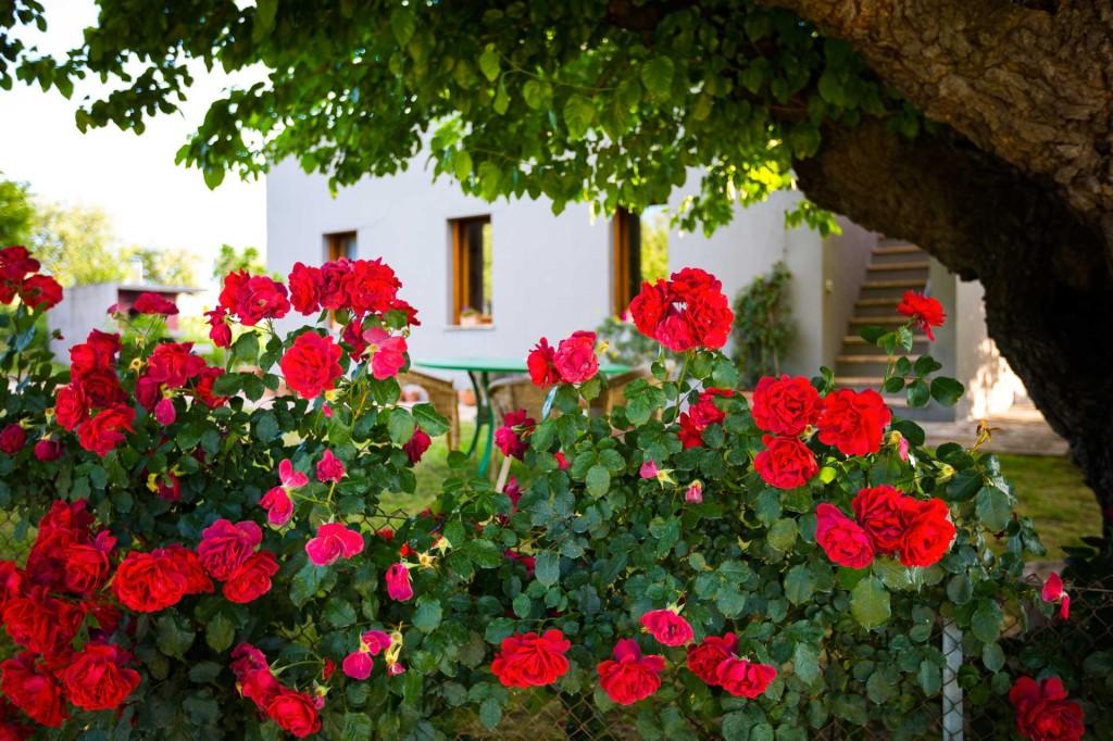 Rose sotto l'olmo